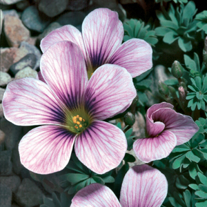 Oxalis &#8216;Ione Hecker&#8217;